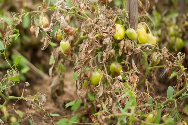 Как вылечить болезни томатов, растущих в теплице