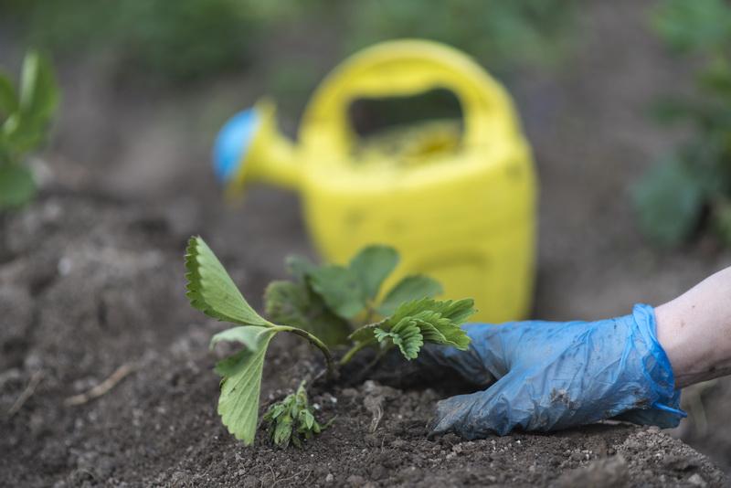 Создаем на садовом участке маточник для клубничной рассады
