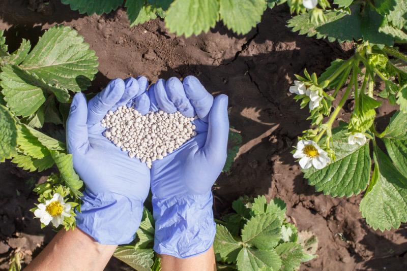 Финская технология выращивания клубники на высоких грядках