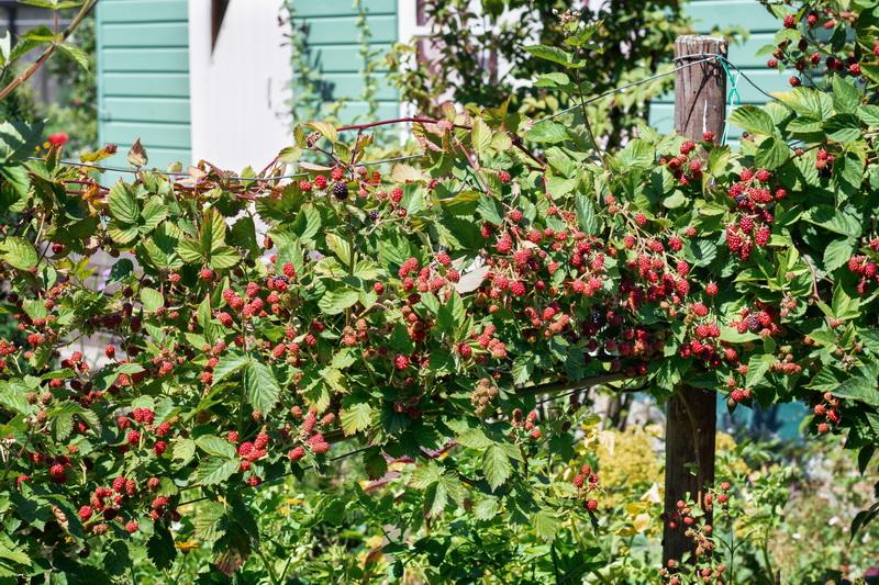 Топ-8 лучших сортов ежевики для выращивания в своем саду