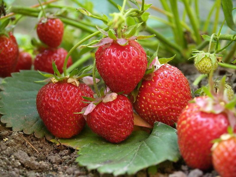 Для деловых сладкоежек. Приспособленные для выращивания в климате средней полосы сорта ремонтантной клубники