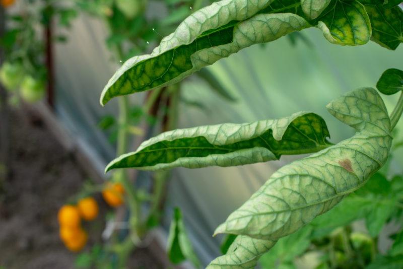 Самые распространенные вредители томатов в открытом грунте и теплице: как с ними бороться