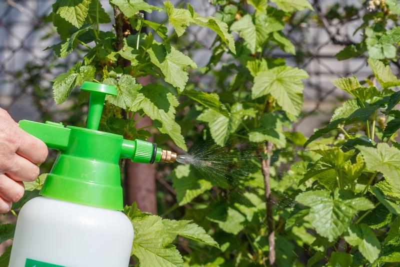 Грамотный весенний уход за кустами смородины