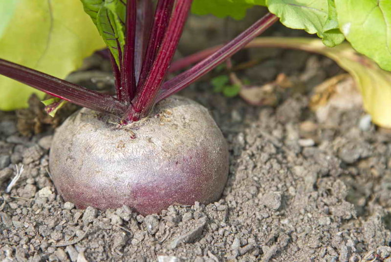 Как свекла может помочь вырастить богатый урожай помидоров