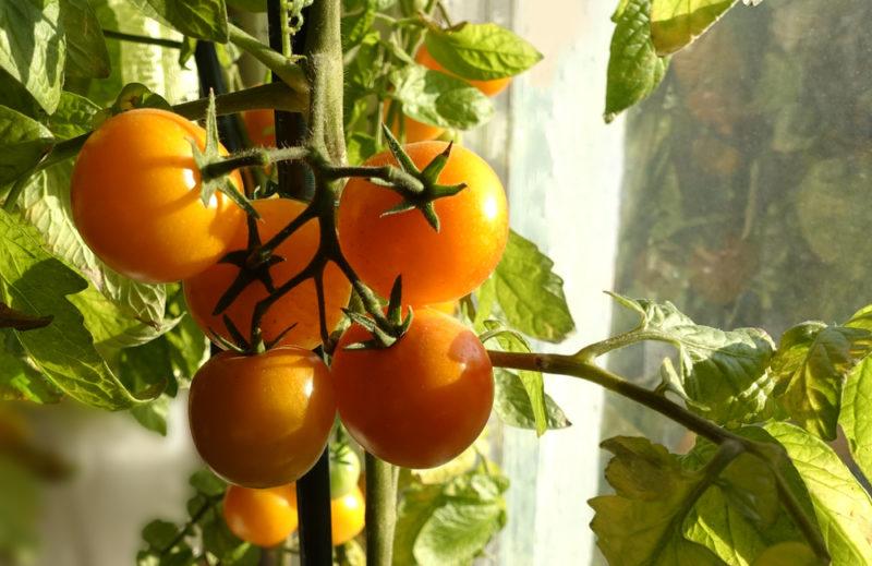 Новинки мировой селекции: редкие сорта разноцветных томатов