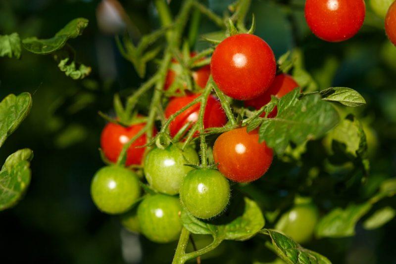 Миниатюрный урожай: популярные сорта томатов черри, описание