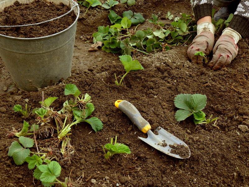 Выращивание клубники с помощью метода 4 грядок