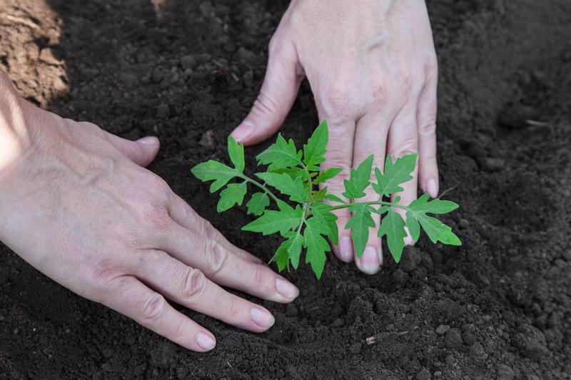 Полезные лайфхаки и советы дачникам о том, как вырастить хорошую и крепкую томатную рассаду