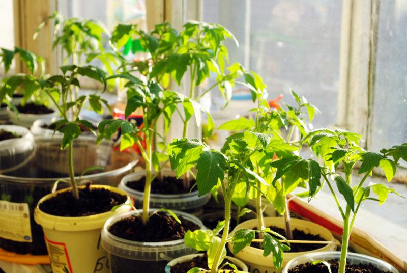 Можно ли пересаживать рассаду помидоров с образовавшимися завязями и плодами