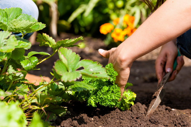 Садовая земляника без усов — как размножать популярную культуру
