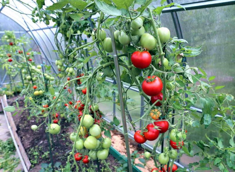 Топ популярных сортов томатов, которые могут лежать долгое время