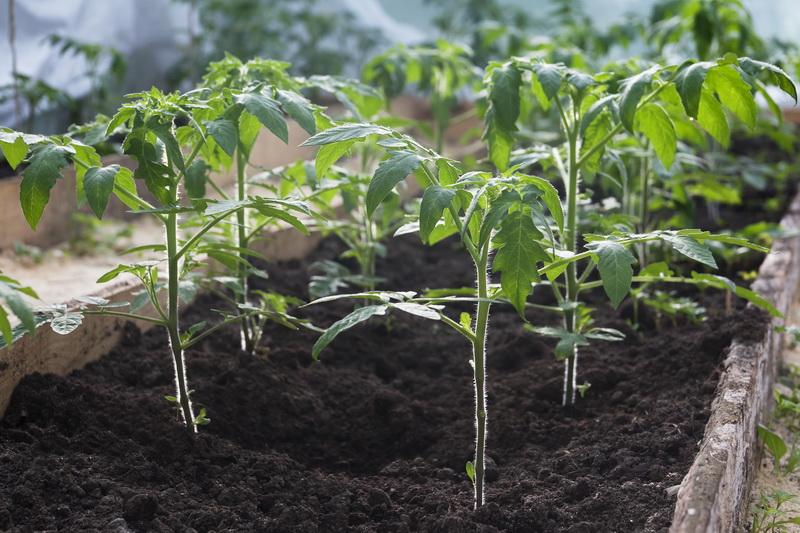 Советы по посадке переросшей томатной рассады