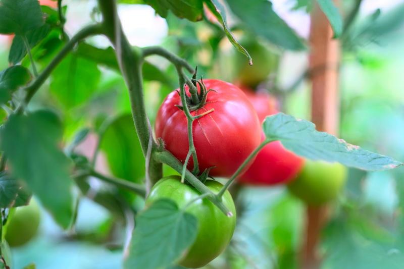 Правила выращивания ранних томатов