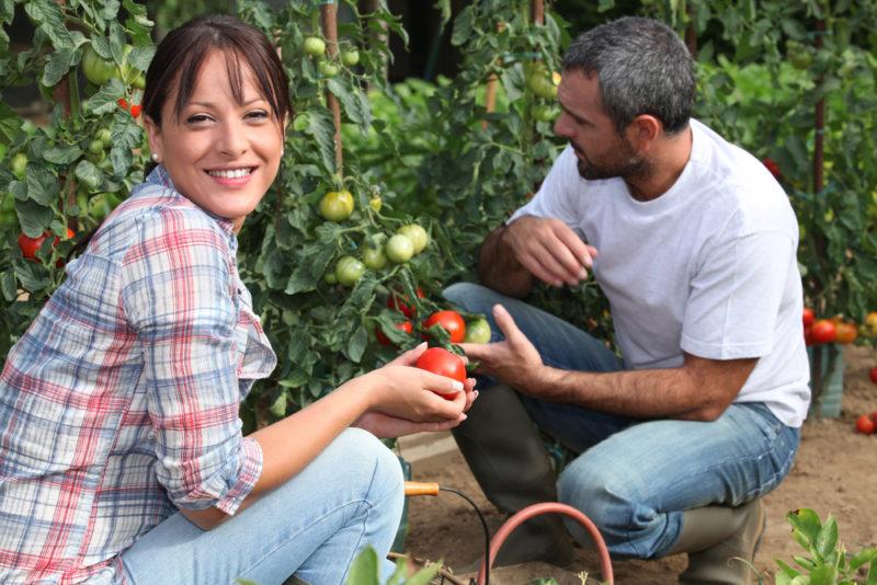 Нужно или нет пасынковать томаты и удалять у них листву
