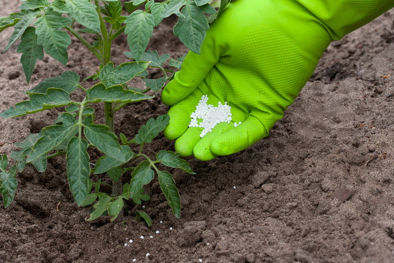 Отличный урожай томатов без теплиц: правила подкормки