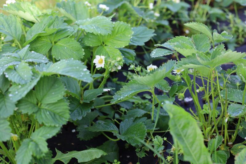 Этапы выращивания клубники семенным способом