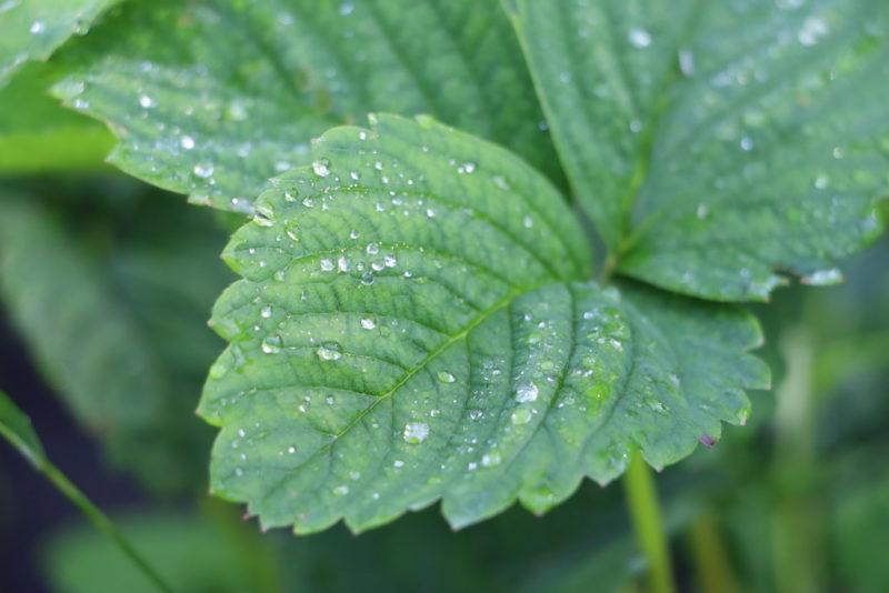 Появляются пятна на листьях клубники: в чем проблема и как ее решить