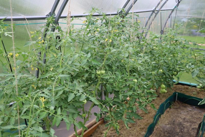 Причины пожелтения листьев томатов