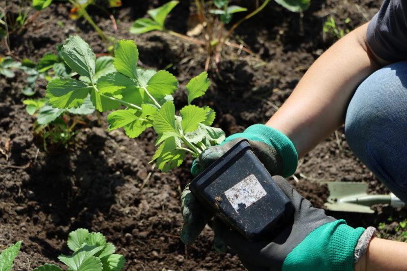 Хитрости, помогающие повысить урожайность клубники