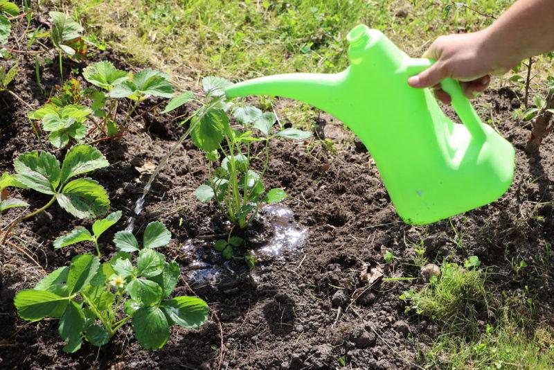 Своевременная подкормка — залог хорошего урожая клубники