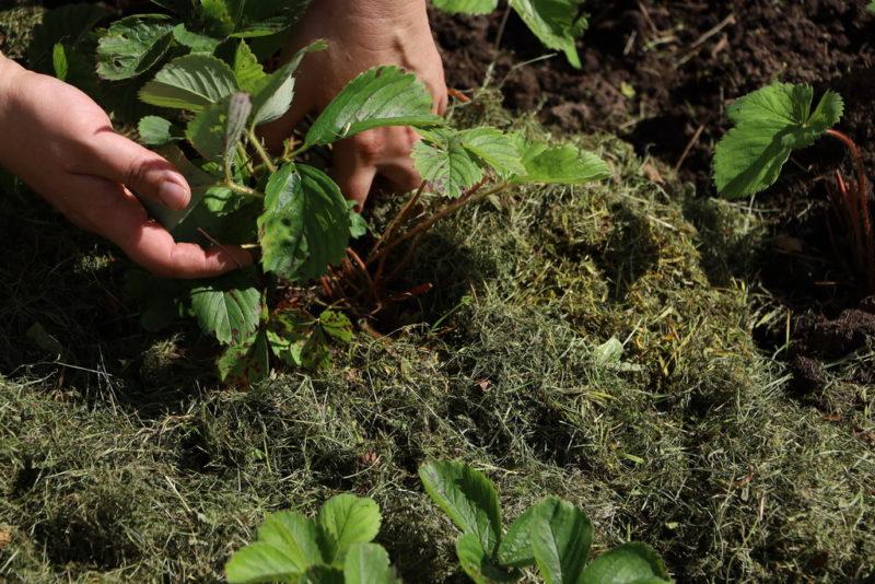 Причины вымерзания клубники и как от этого защитить растения