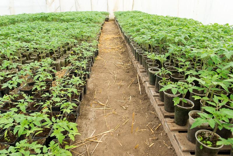 Простые правила выращивания огурцов в открытом грунте