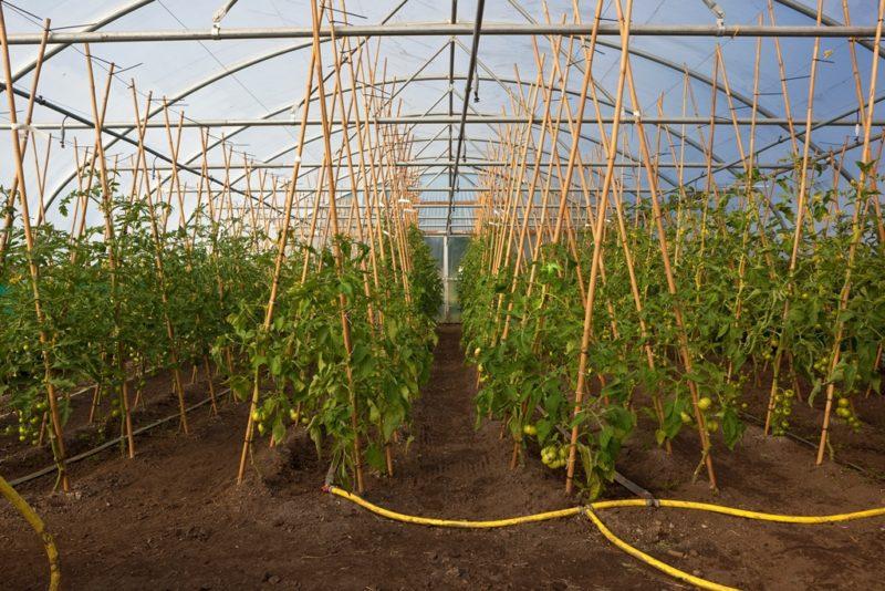 Правильная поливка помидоров в теплице: объем, регулярность и срок