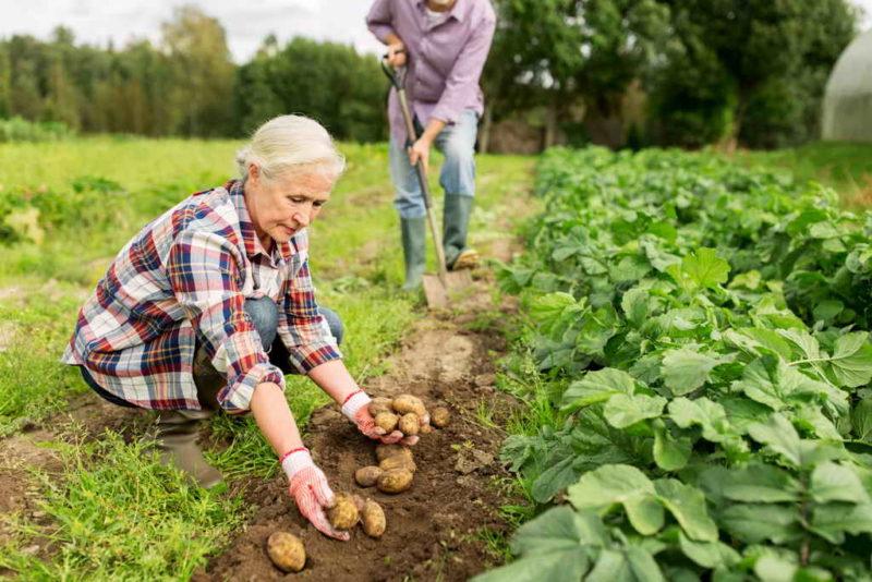 Насколько опасен поврежденный, зеленый или поеденный грызунами картофель