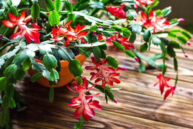 Декабрист цветет бурно и продолжительно: простые, но эффективные подкормки для растения