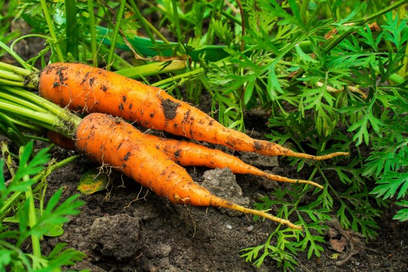 Запасы моркови на зиму: лучшие сорта для хранения