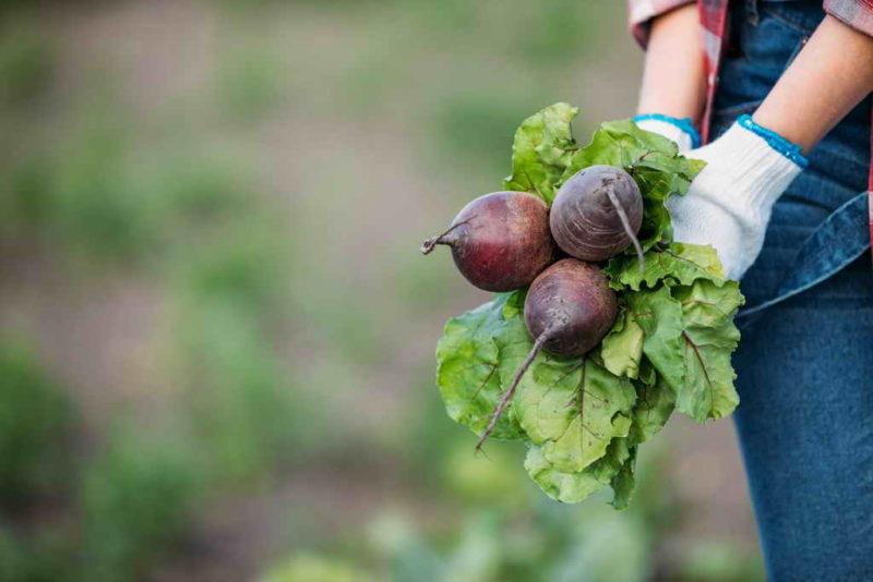 Посадка свеклы семенами и рассадой в открытом грунте