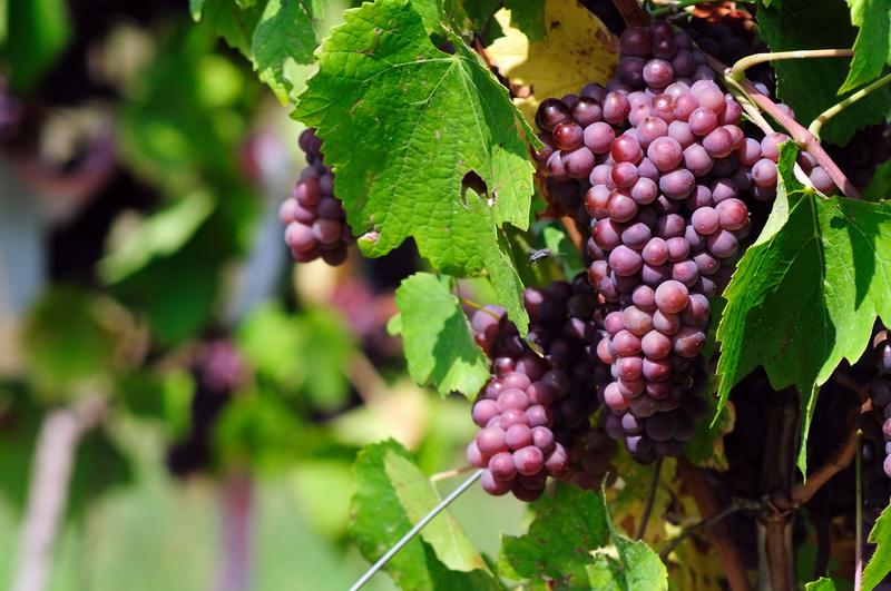 Весеннее опрыскивание винограда — какие препараты использовать