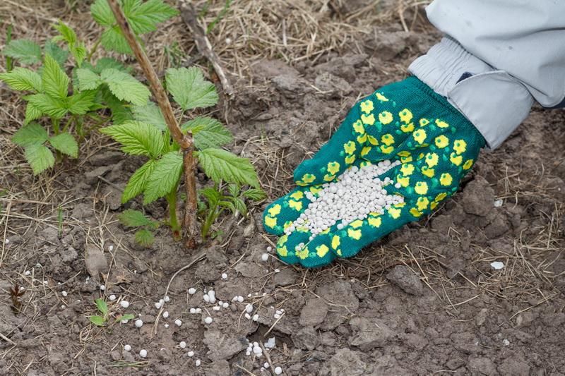 Как добиться обильного плодоношения малины: основные рекомендации