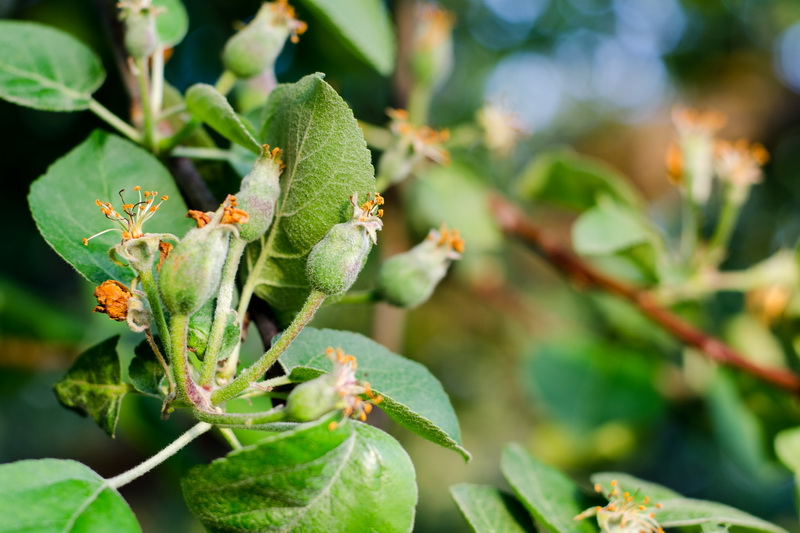 «Аптечка» садовода. Весенняя обработка яблони от вредителей