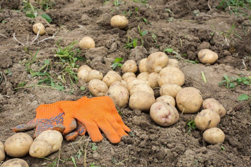 Как сохранить урожай картофеля на длительный срок