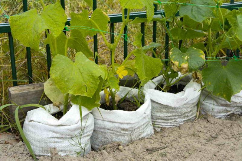 Выращивание огурцов на малых площадях: три популярных способа