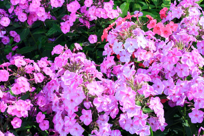 Два метра необыкновенной красоты: неприхотливые цветы для оформления эффектной клумбы