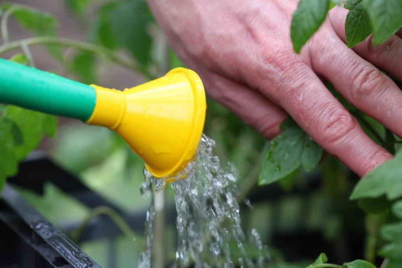 Чем меньше зеленой массы на помидорных кустах, тем обильнее урожай томатов