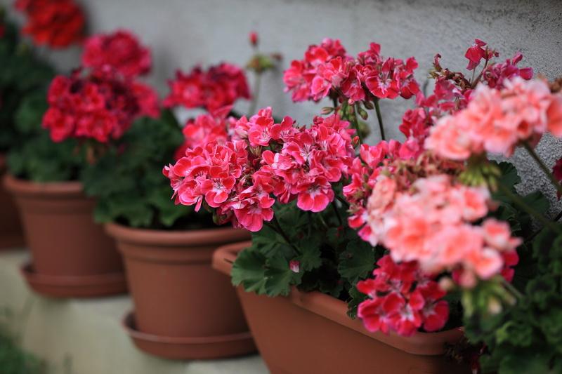 Раствор с одной каплей йода поможет обеспечить герани крепкое, здоровье и яркое, пышное цветение