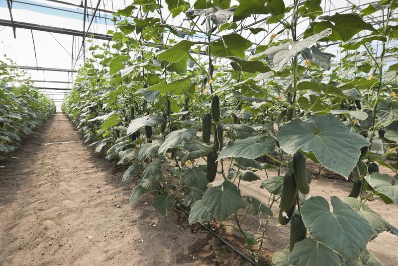Почему не растут огурцы? Обзор главных ошибок садоводов