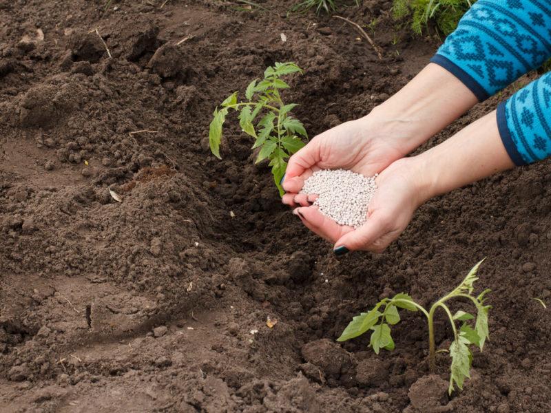 Правильная подготовка лунки для посадки томатов — богатый урожай