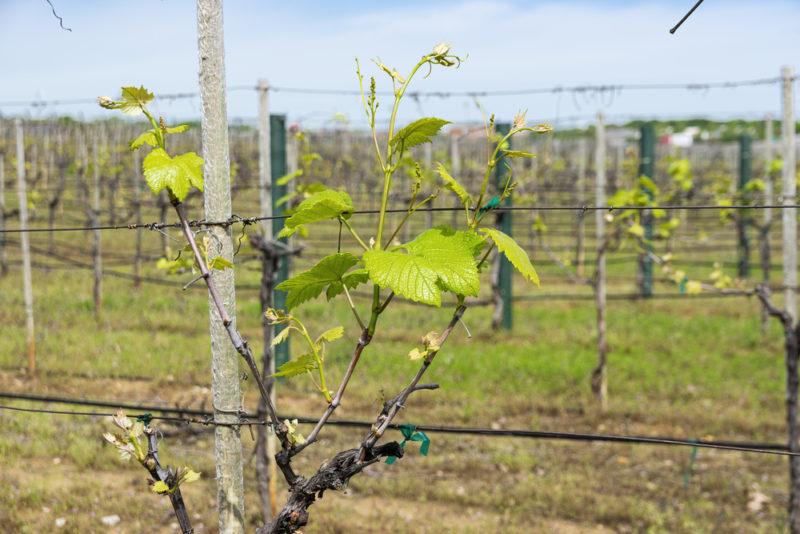 Шпалера — необходимая опора для хорошего роста винограда