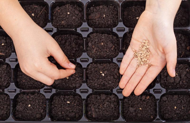 Посев семян перца в домашних условиях