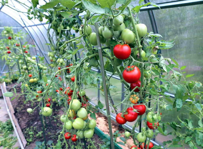 Правильное расстояние между кустами томатов