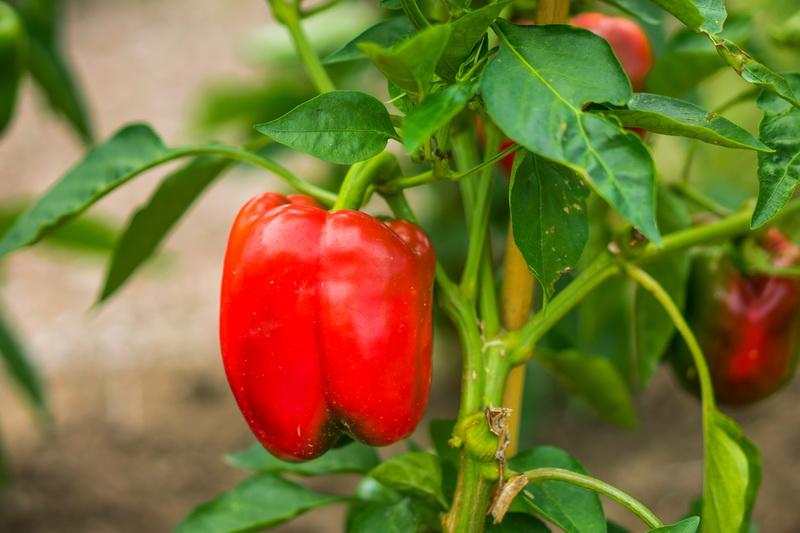 Лучшие сорта сладких толстостенных перцев: самые урожайные и вкусные