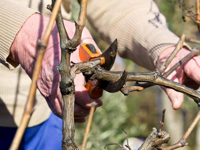 Обрезка винограда: как исключить ошибки