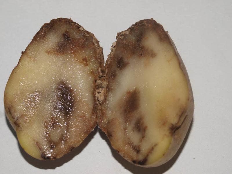 Как не потерять урожай картофеля из-за болезней