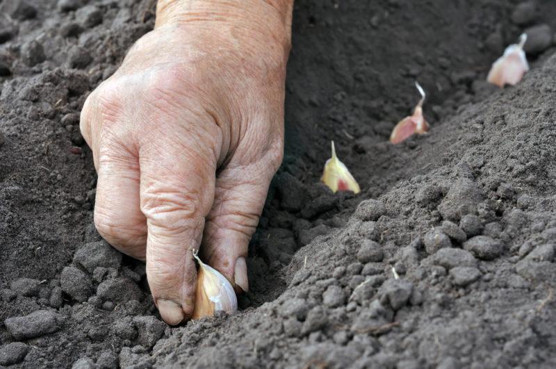 Способы посадки озимого чеснока