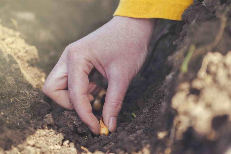 Правила посадки лука под зиму: сроки и лучшие сорта