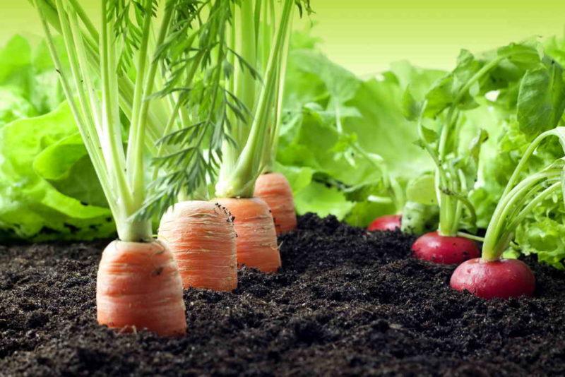 Возделывание моркови. Наиболее частые ошибки при ее культивировании